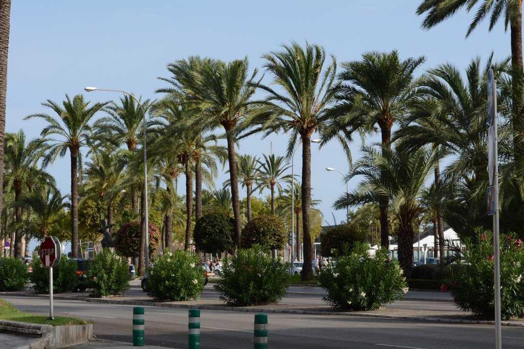 Palma'nın palmiyeleri...
