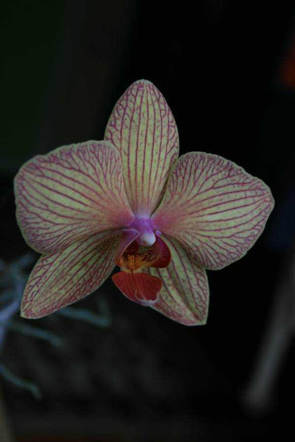 İsveç anısı yaş günü orkidelerim 2011 yılından beri hala çiçek açmaya devam ediyorlar…