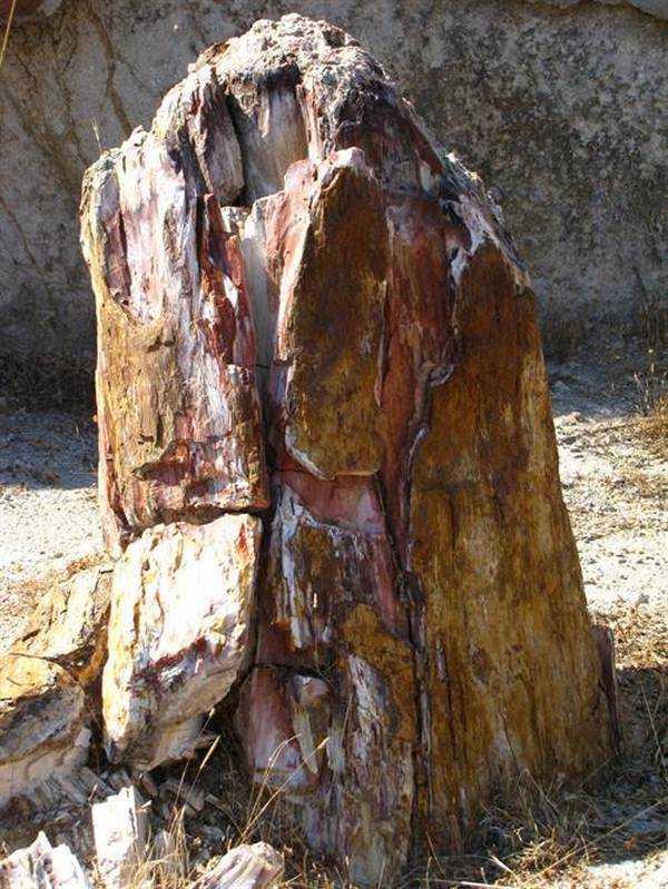 Fosil Ormanın Kayalaşmış Ağaçları