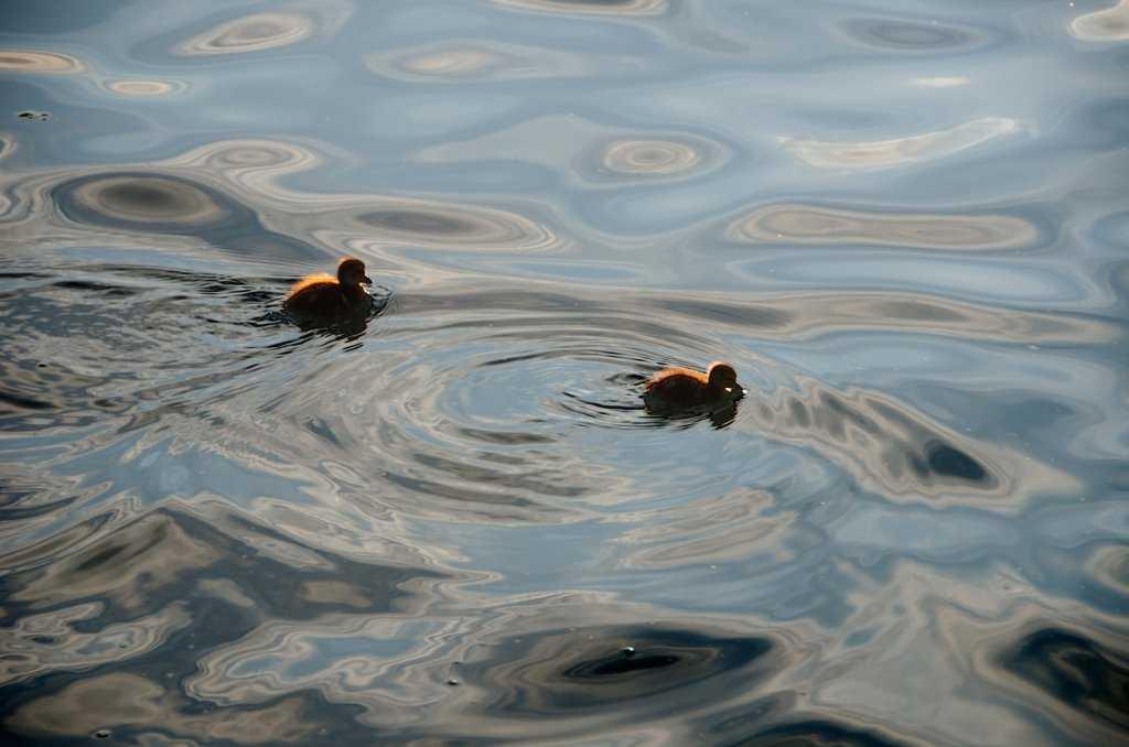 Garda Gölünün ördek yavruları...